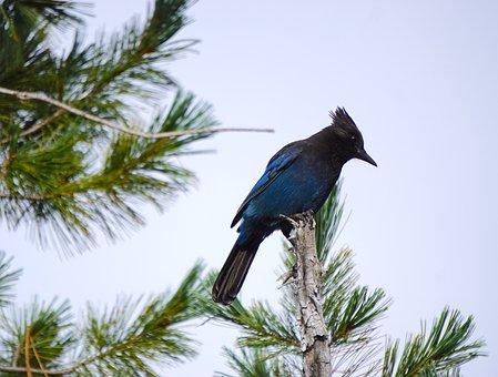 Steller's Jay, Blue, Black, Bird, Jay, Nature, Wildlife