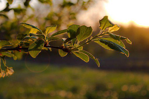 Plum, Tree, Leaves, Branch, Nature, Garden, Spring