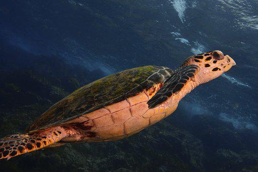 Turtle, Sea, Scuba Diving