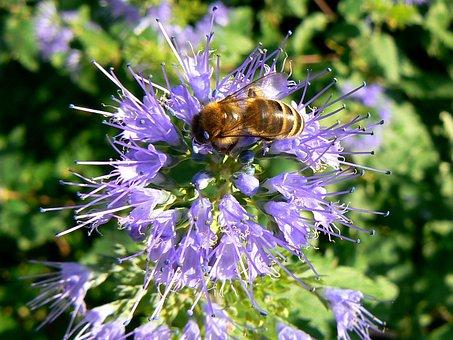 Budapest, Working Bee, Purple Flower, Margaret Island
