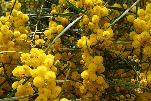 Xmas Plant, Bauble, Yellow Ball Plant, Tree, Blossom