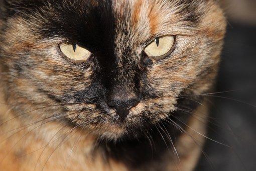 Cat, Tortoise Shell, Yellow Eyes