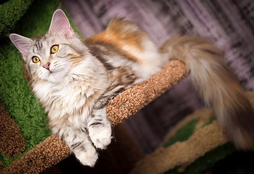 Cat, Fluffy Cat, Pet, Animal, Fur, Animals, Cat Eyes
