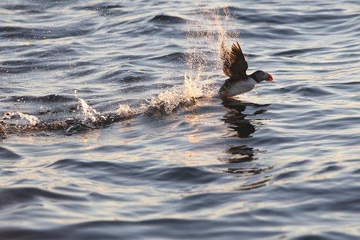 Puffin, Sea, Wildlife, Animal, Atlantic, Seabird