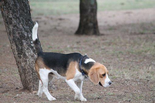 Dog, Beagle, Medium, Tan, Black, White, Pet