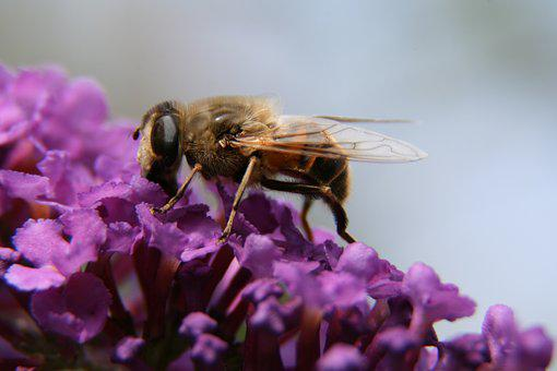 Bee, Flower, Nature, Macro, Lilac, Insect, Blossom