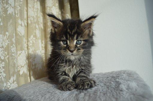 Mejnkun, Maine Coon, Mainkan, Kitten, Cat, Kittens