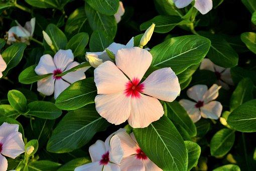 Flowers, Clover, White Flower, Red, Green, Leaves, Leaf