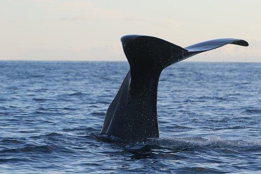 Whale, Sperm Whale, Dive, Cachalot, Ocean