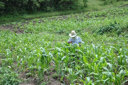 Corn, Maize Field, Super Torito, Mountain, Gro