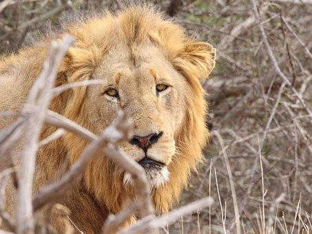 Lion, Kruger, South Africa, Africa, Nature, Wildlife
