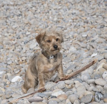 Dog, Pebbles, Beach, Sea, Outdoors, Animal, Pet, Beige