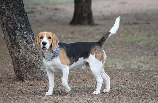 Dog, Beagle, Pose Medium, Tan, Black, White, Pet