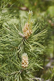 Forest, Tree, Pine Cone, Coniferous Tree, Pine, Nature
