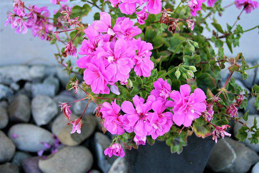 Geranium, Pink, Flowerpots, Plant, Flourishing