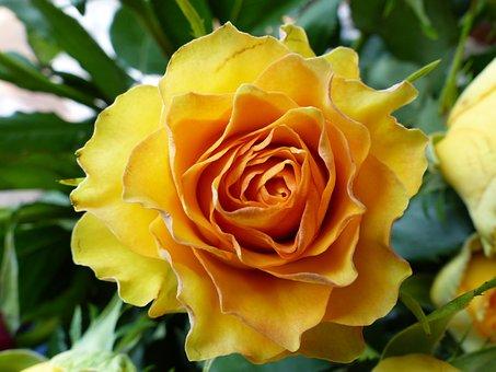 Rose, Summer Flower, Blossom, Bloom, Summer, Plant