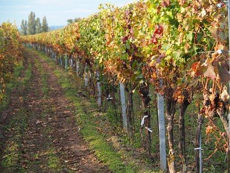 Vines, Vine, Winegrowing, Wine, Grapes, Plant