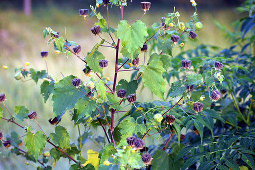 Wild Flowers, Ragworts, Weed, Plants