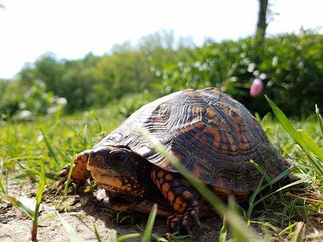 Turtle, Nature, Grass, Natural, Wild, Shell, Wildlife