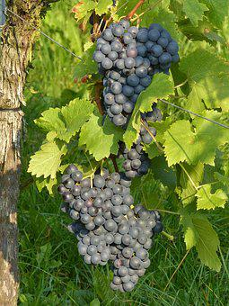 Grapes, Grapevine, Blue, Vine, Winegrowing, Plant