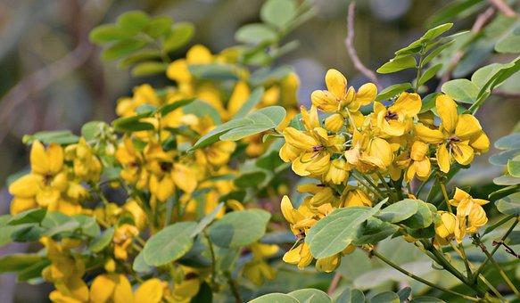 Amaltas, Yellow Flowers, Golden Rain Tree, Canafistula