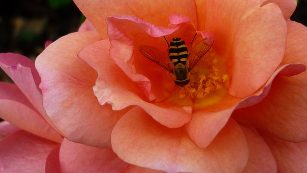 Rose, Flower, Blossom, Bloom, Apricot-colored, Wasp