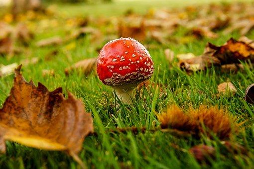 Mushroom, Fly Agaric, Autumn, Poisonous, Nature, Fall