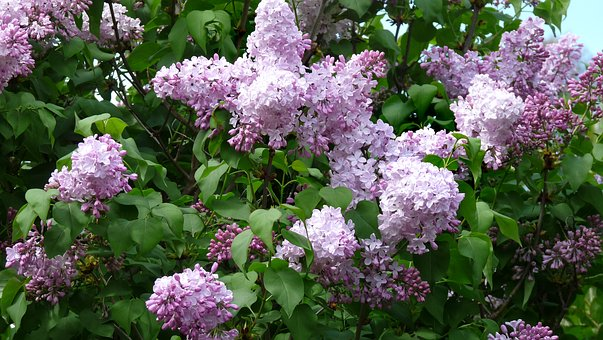 Lilac, Tree, Blooming