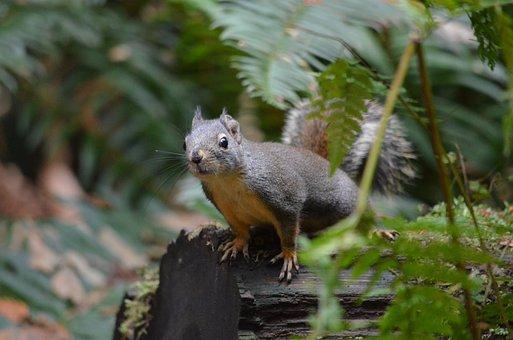 Squirrel, British Columbia, Canada, Wildlife, Animal