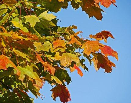 Maple Leaves, Autumn Colours, Colorful, Leaves
