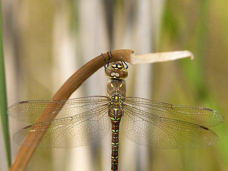 Dragonfly, Dragonfly Tiger, Aeshna Cyanea, Odonato