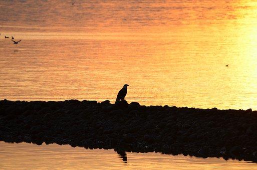 Eagle, Silhouette, Bald Eagle, British Columbia, Canada