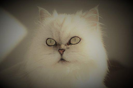 Cat, Animals, Eyes, Face, Beauty, Prizessin