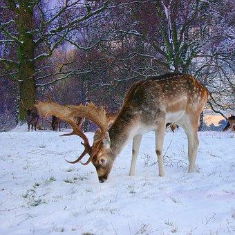 Fallow, Buck, Deer, Snow