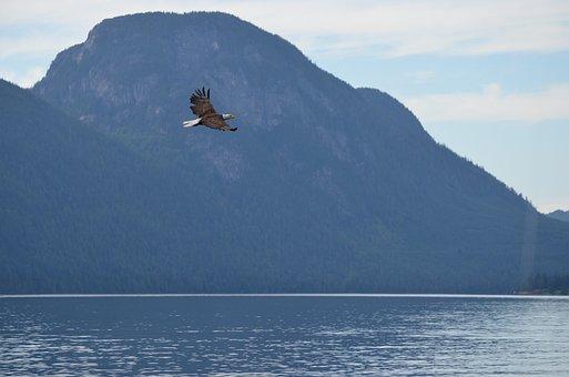 Eagle, Soaring, Flying, Fishing, Bald Eagle