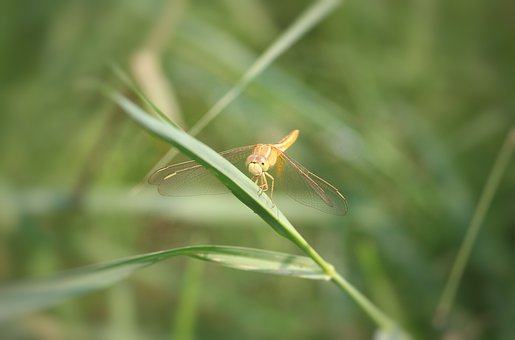 Dragonfly, Insect, Anisoptera, Odonate, Insecta