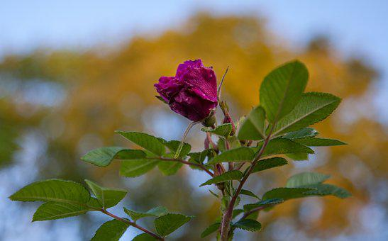 Autumn, Flowers, Roses, Leaves, Sky, Color, October