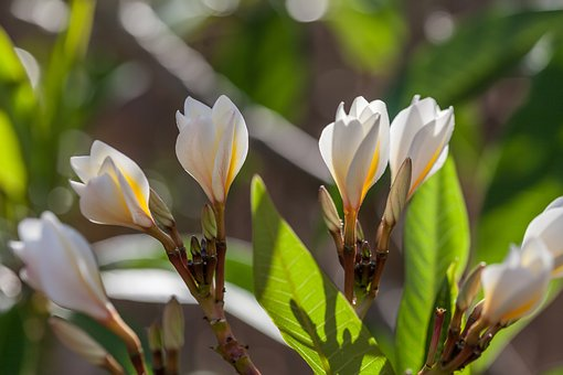 Frangipanni Flowers, Light Through The Leaves