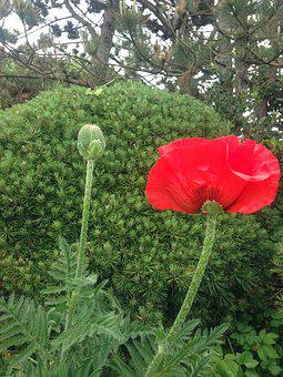 Poppy, Pine, Red, Green, Mahnknospe, Bud, Blossom