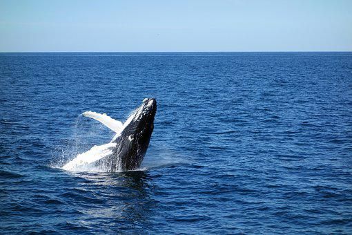 Wal, Sea, Young Whale, Jump, Marine Life, Water, Blue