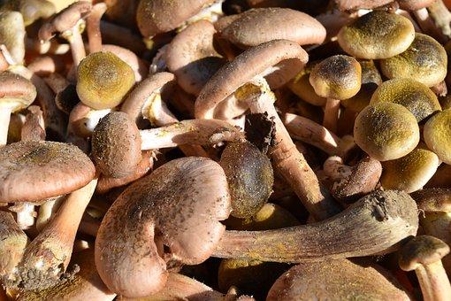 Cavanaugh, Mushrooms, Armillaria Mellea, Autumn Woods