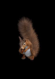 Squirrel, Rodent, Sciurus, Forest Animals, Nager