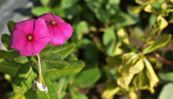 Periwinkle, Teresita, Pink, Flower, Sadabahar, Nature
