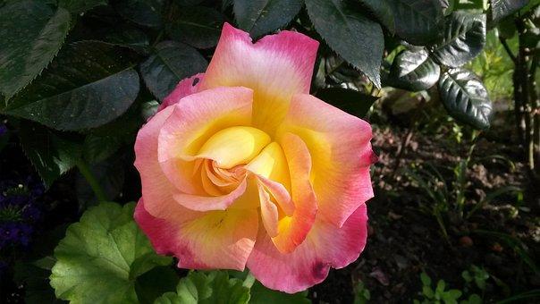 Pink Flower, Yellow Rose, Orange Rose, Pink Rose