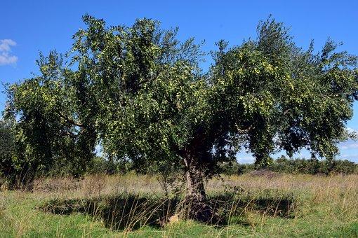 Olive Tree, Olivier, Tree, Olives, Olive Harvest, Plant