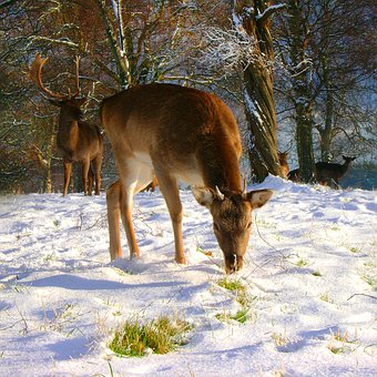 Fallow, Buck, Winter, Deer, Snow