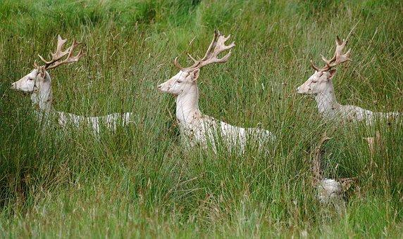 White, Fallow, Bucks
