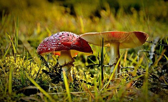 Nature, Poisonous Mushrooms, Amanita