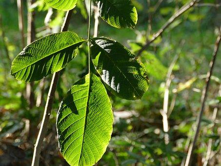 Walnut, Foliage, Forest, Nature, Tree, Autumn