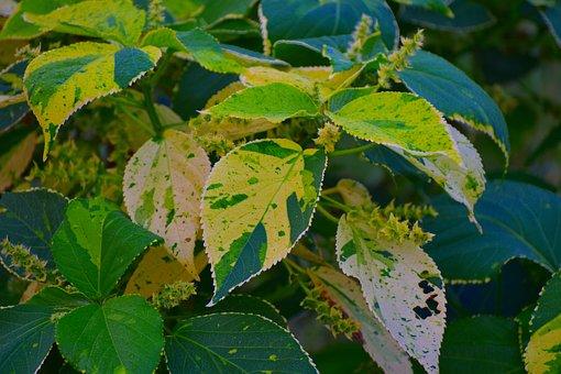 Variegated Leaves, Big Leaves, Wild Leaves, Infested